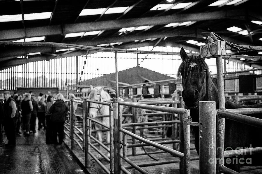 Horses To Be Auctioned At Horse And Livestock Auction Barn Beeston Castle  England Uk
