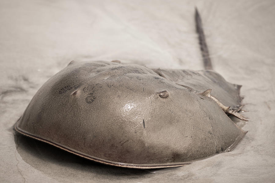 Beach Photograph - Horseshoe Crab by Chris Bordeleau