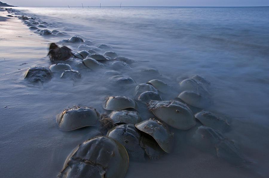 Horseshoe Crabs Crawling Ashore Delaware Photograph by Piotr Naskrecki