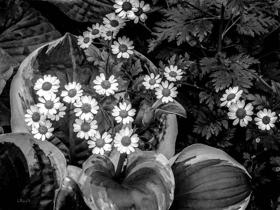 Hosta Photograph - Hosta Daisies by Bill Linn