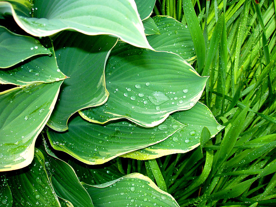 Hostas Photograph - Hosta Leaves And Waterdrops by Nancy Mueller