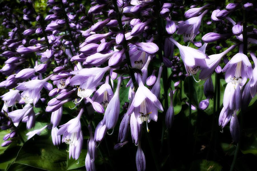Hosta Purple Photograph By Jennifer Kohler