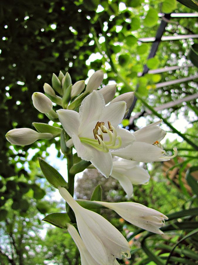 Hosta white flowers no 1 photograph by jessica tolemy hosta photograph hosta white flowers no 1 by jessica tolemy mightylinksfo
