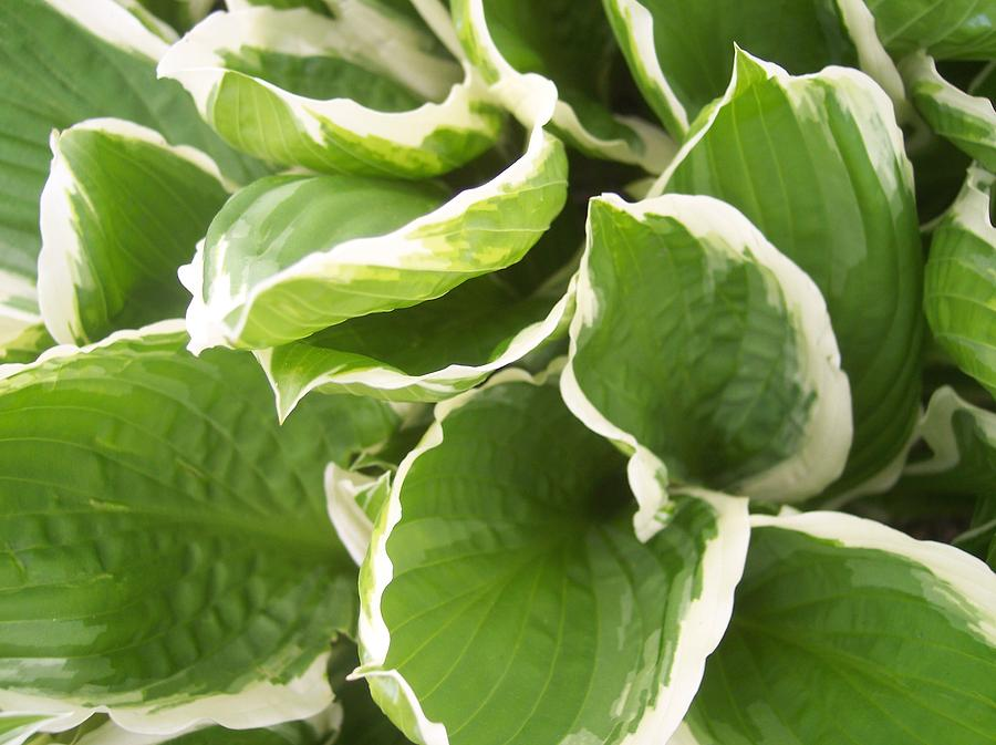 Hostas Leaves Foliage Green White Photograph - Hostas 2 by Anna Villarreal Garbis