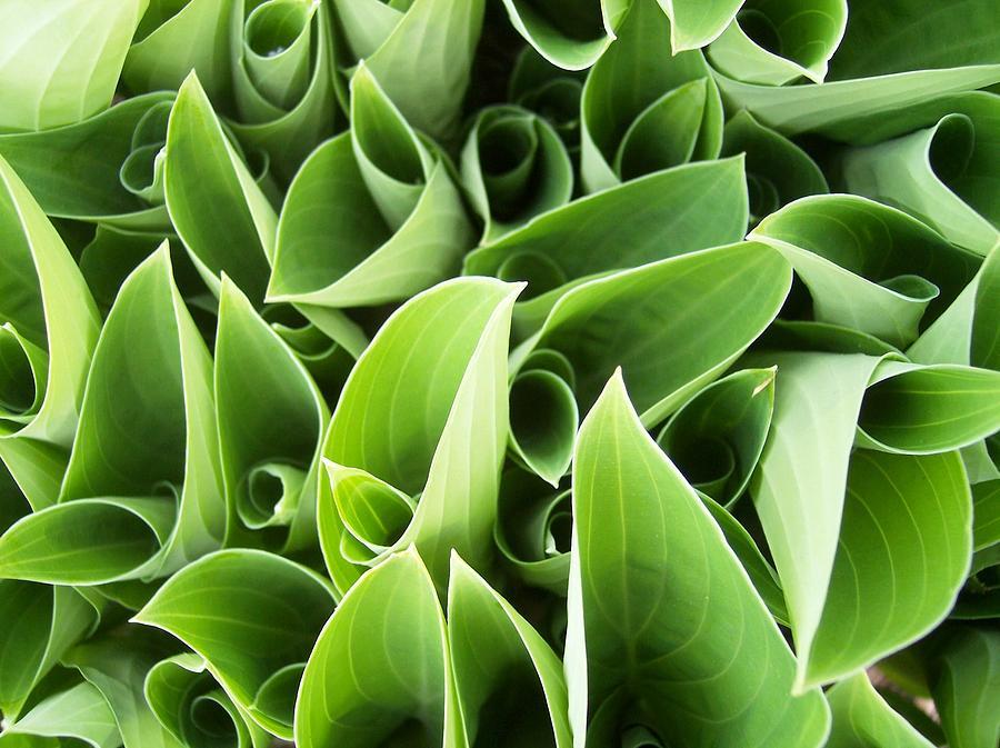 Hostas Green Circles Leaves Garden Photograph - Hostas 3 by Anna Villarreal Garbis