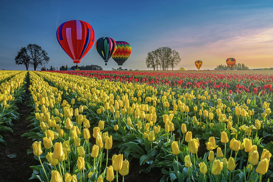 Hot Air Balloons Photograph - Hot Air Balloons Over Tulip Fields by William Freebilly photography