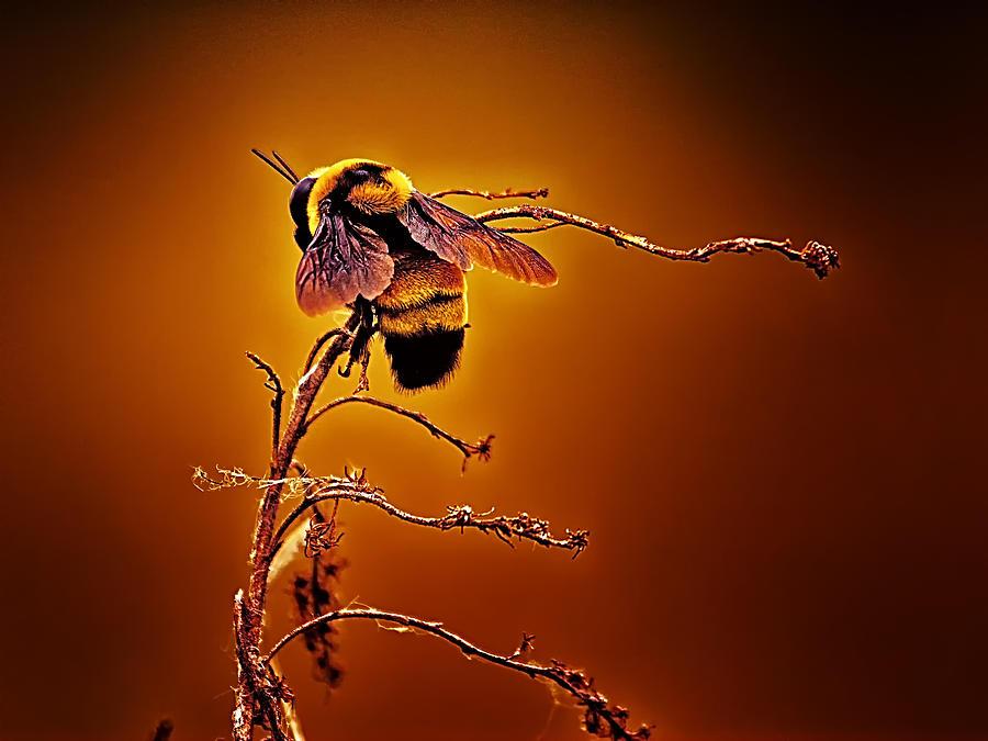 Bee Photograph - Hot Buzz by Bill Tiepelman