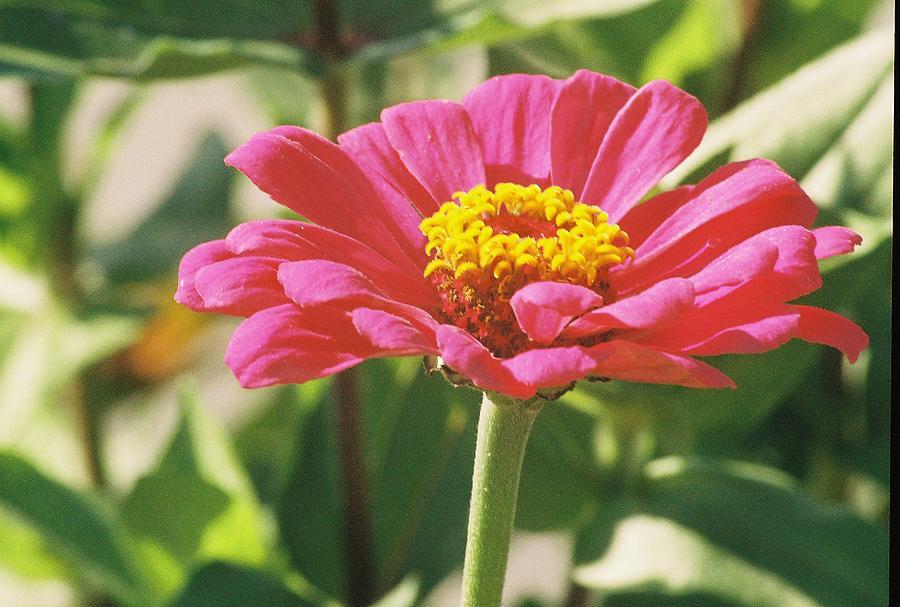 Landscape Photograph - Hot Pink Flower In Frankemuth Michigan by Cheryl Martin