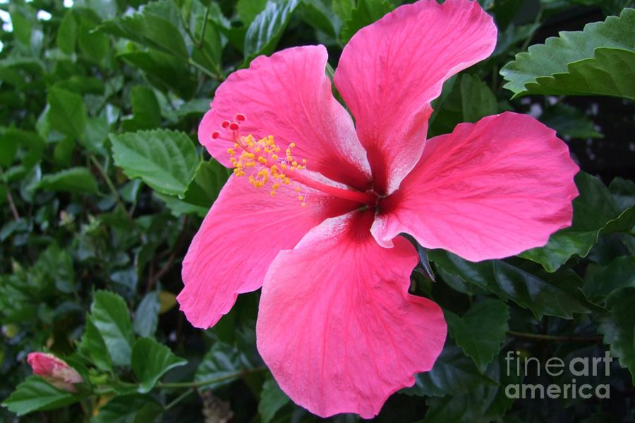 Pink Photograph - Hot Pink Hibiscus 1 by Mary Deal