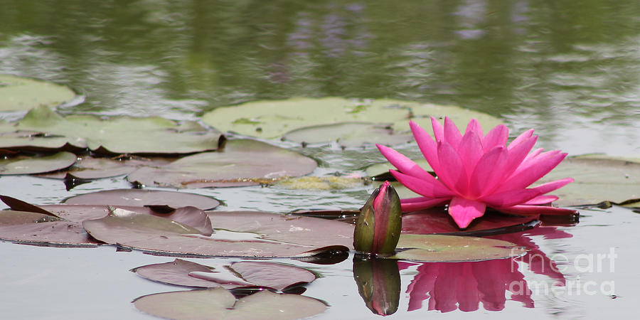 Hot Pink Photograph - Hot Pink Lily and Bud by Vivian Bound