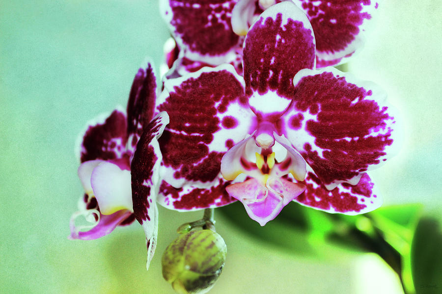 Hot Pink Moth Orchid Close Up Photograph