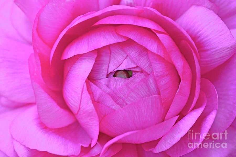 Hot Pink Ranunculus Flower Photograph