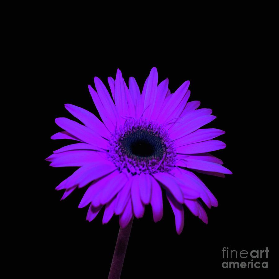 purple gerbera daisy wwwpixsharkcom images galleries