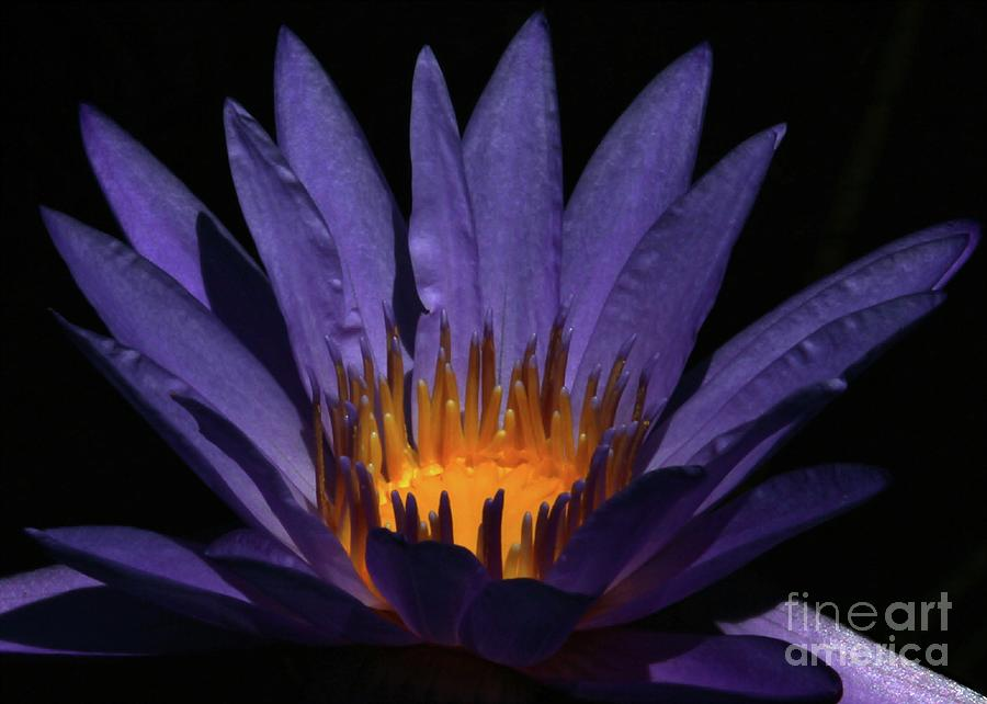 Water Lily Photograph - Hot Purple Water Lily by Sabrina L Ryan