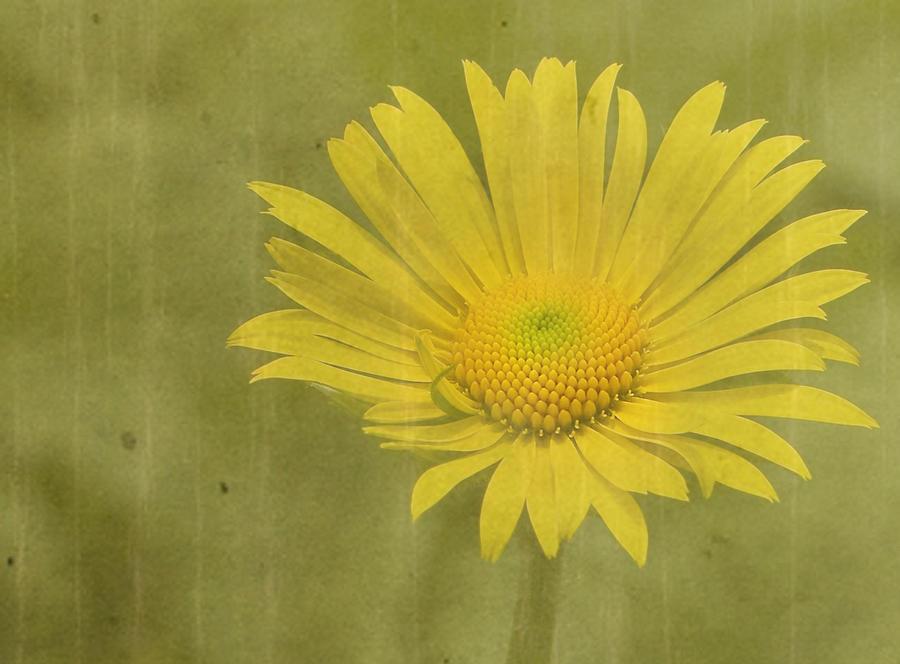 Daisy Photograph - Hotty by Rebecca Cozart