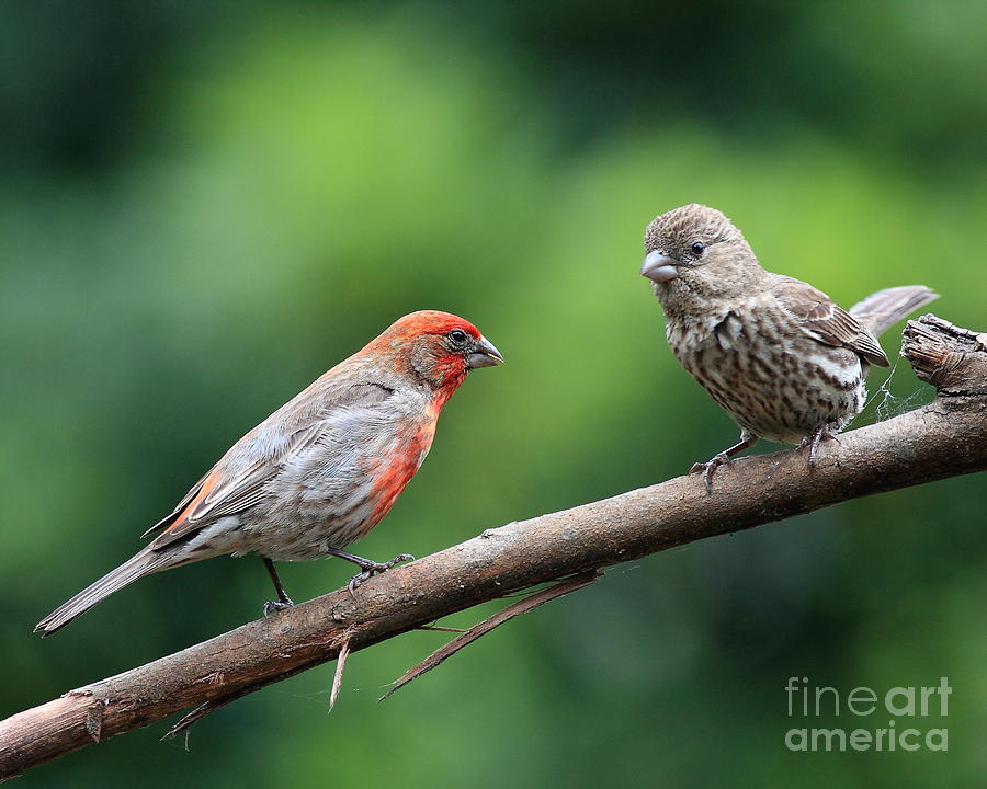 Wildlife Photograph - House Finch Courtship by Wingsdomain Art and Photography