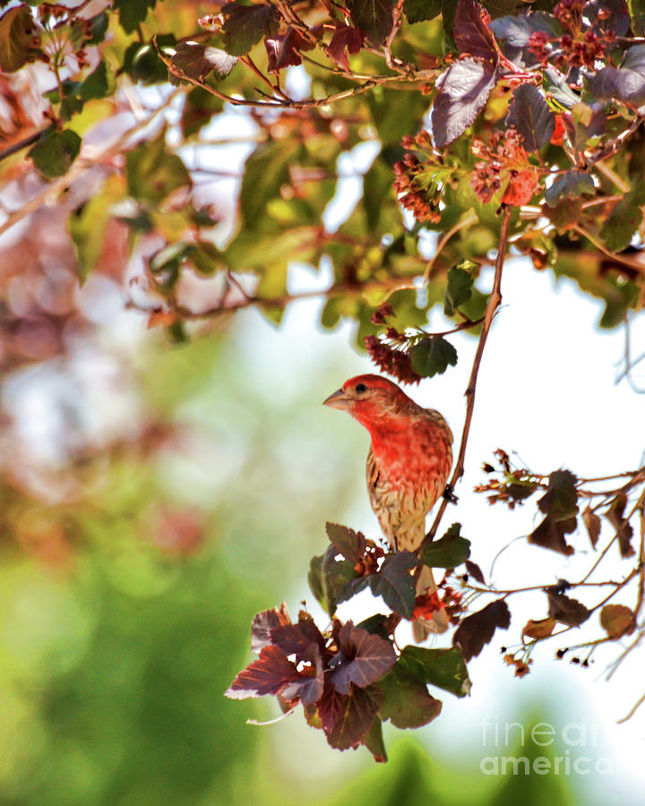 House Finch Photograph - House Finch Hanging Around by Kerri Farley