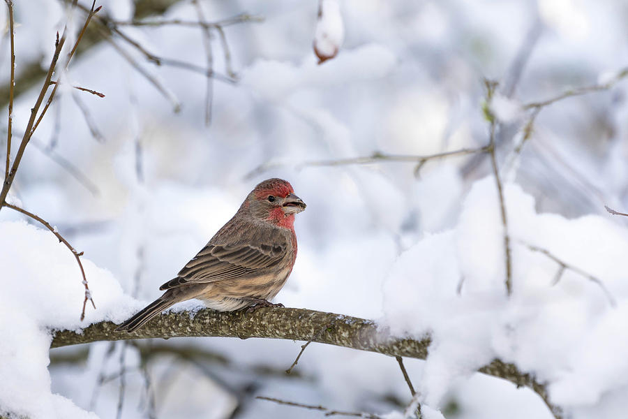 House Finch Photograph - House Finch in Snow by Brian Bonham