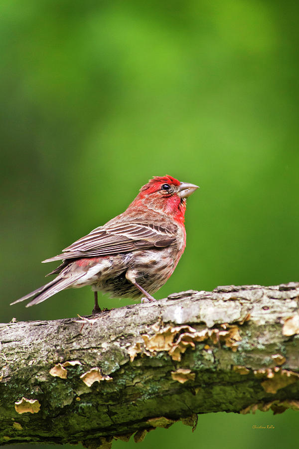 Bird Photograph - House Finch Perched by Christina Rollo