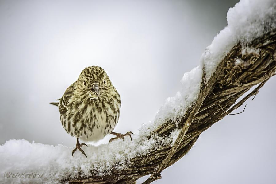 Day Photograph - House Finch Snow Is Coming by LeeAnn McLaneGoetz McLaneGoetzStudioLLCcom