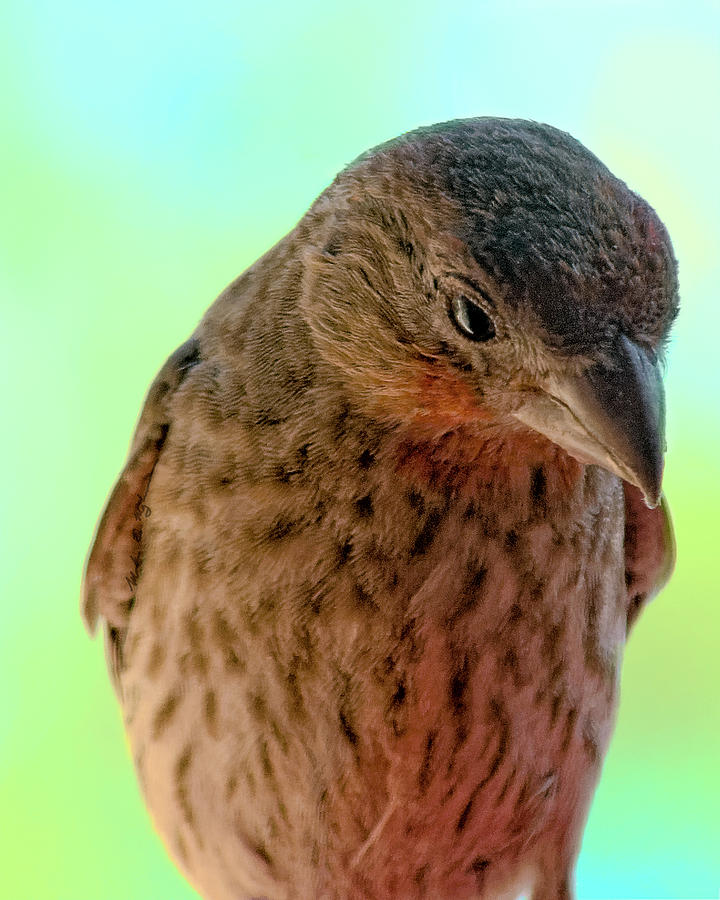 House Finch V300 Photograph