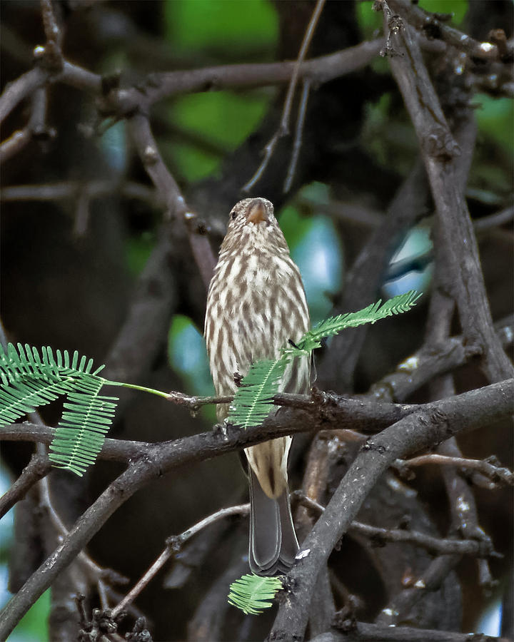 House Finch V43 Photograph