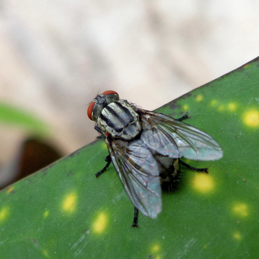 India Photograph - House Fly On Leaf by Misentropy