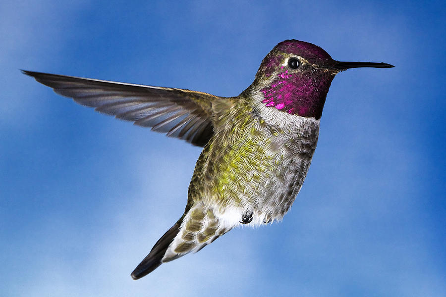Hummingbird Photograph - Hovering In Sky by William Freebilly photography