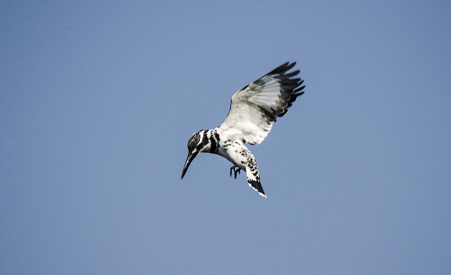 Kingfisher Photograph - Hovering Of White Pied Kingfisher by Manjot Singh Sachdeva