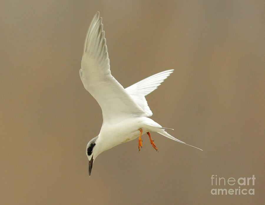 Animal Photograph - Hovering Tern by Robert Frederick