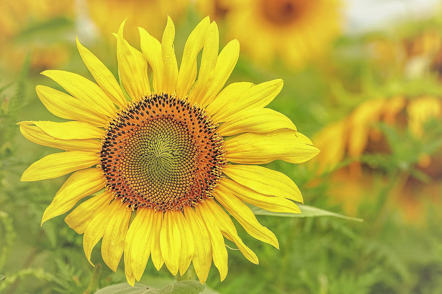 Sunflower Photograph - How Do You Dew, Sunflower by Pat Eisenberger