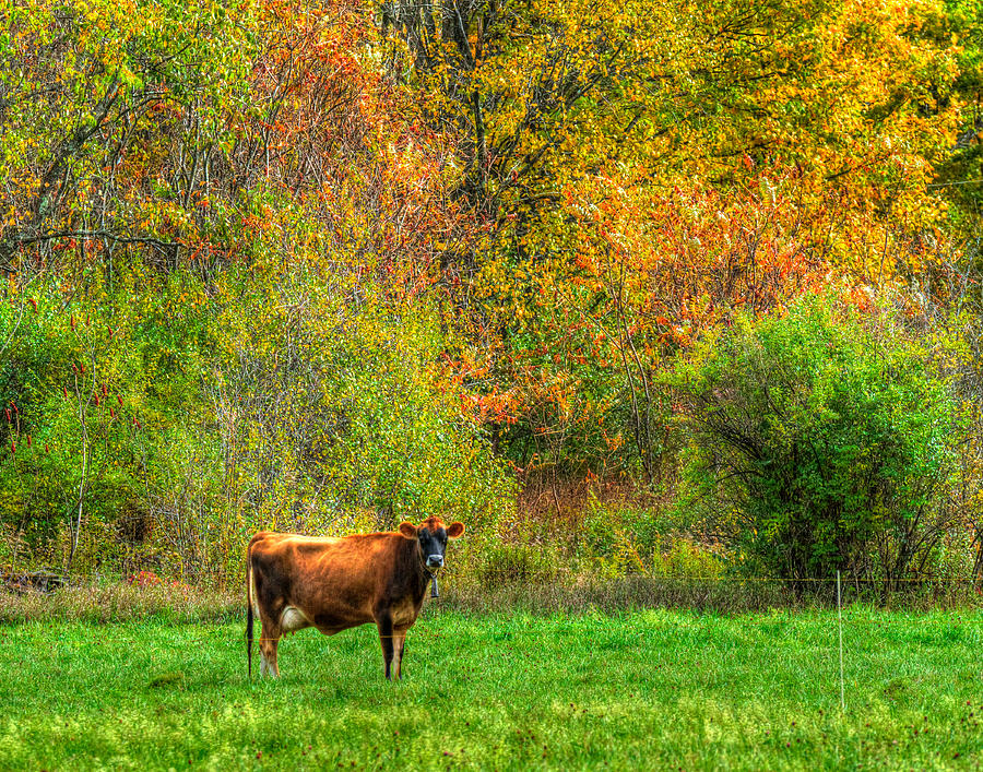 How Now Brown Cow Photograph