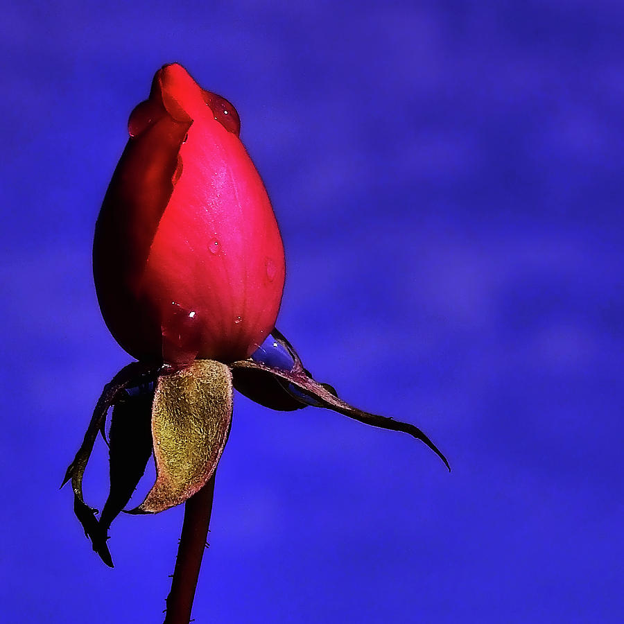 Rose Photograph -  Tell A Woman You Love Her Without Words. by Stuart Harrison
