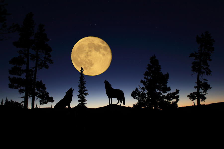 Carnivore Photograph - Howling At The Moon by Shane Bechler