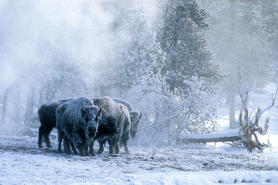 Yellowstone Photograph - Huddled For Warmth by Sandra Bronstein
