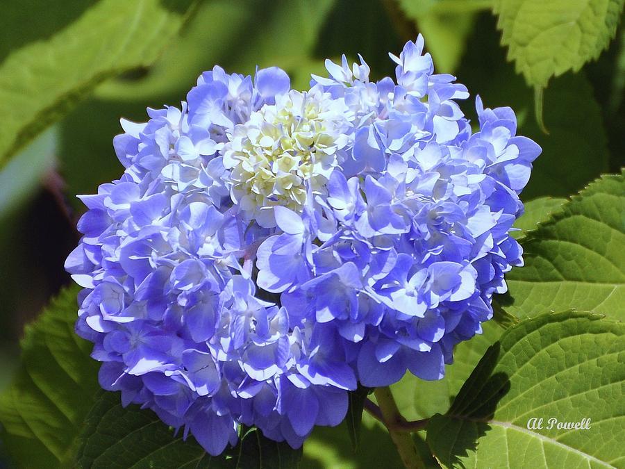 Flower Photograph - Huge Hydrangea by Al Powell Photography USA