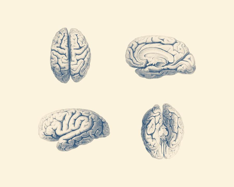 Human Brain Anatomy - Simple Multi-view Mixed Media by Vintage ...