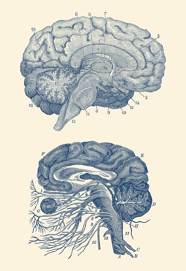 Human Brain - Central Nervous System - Vintage Anatomy Print by Vintage Anatomy Prints