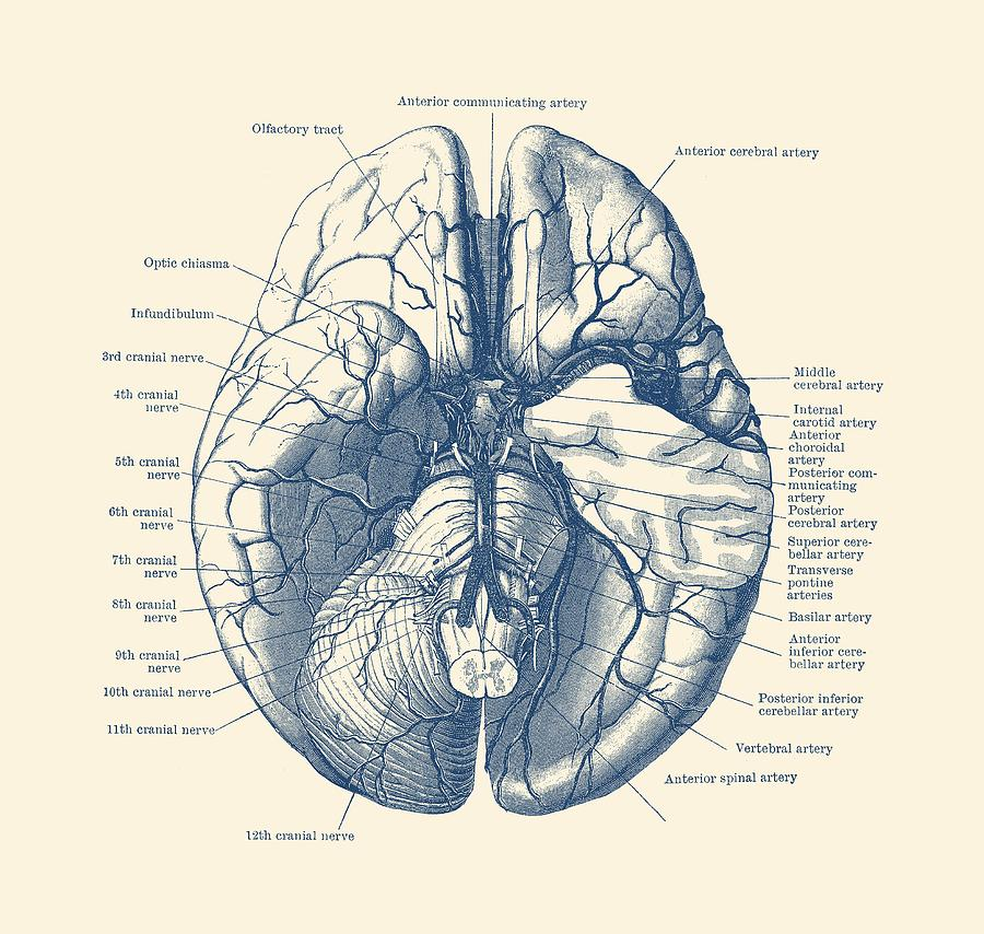 Human Brain Diagram - Anatomy Poster Drawing by Vintage Anatomy Prints