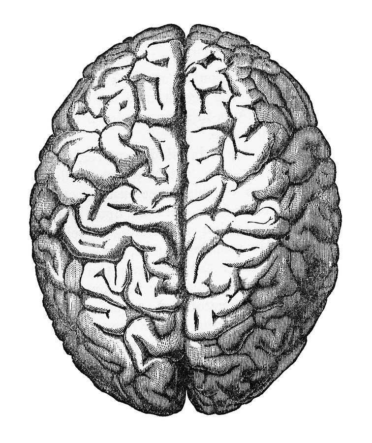 Human Brain Isolated On White Engraved Illustration, Circa ...