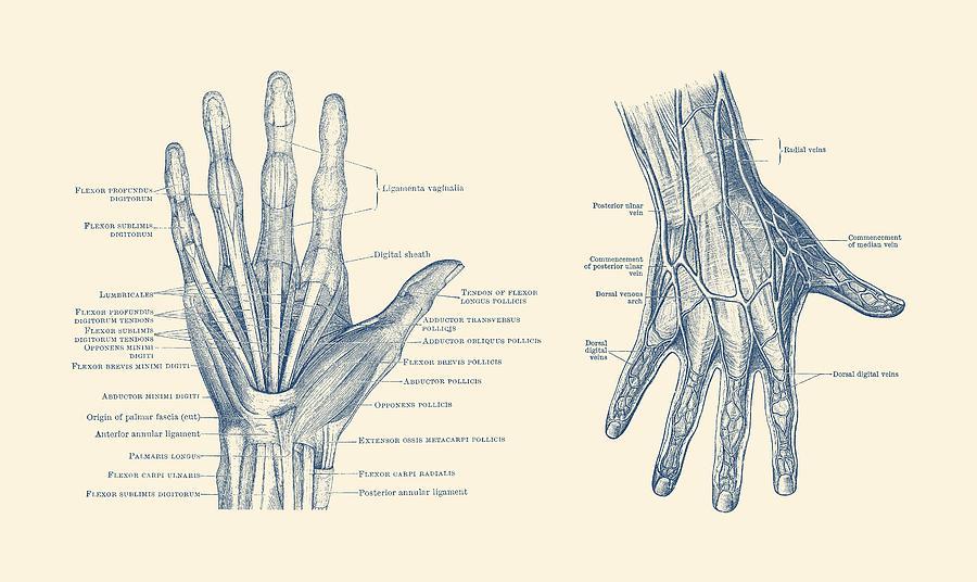 Human Hand Anatomy - Dual View - Vintage Diagram Drawing by Vintage ...