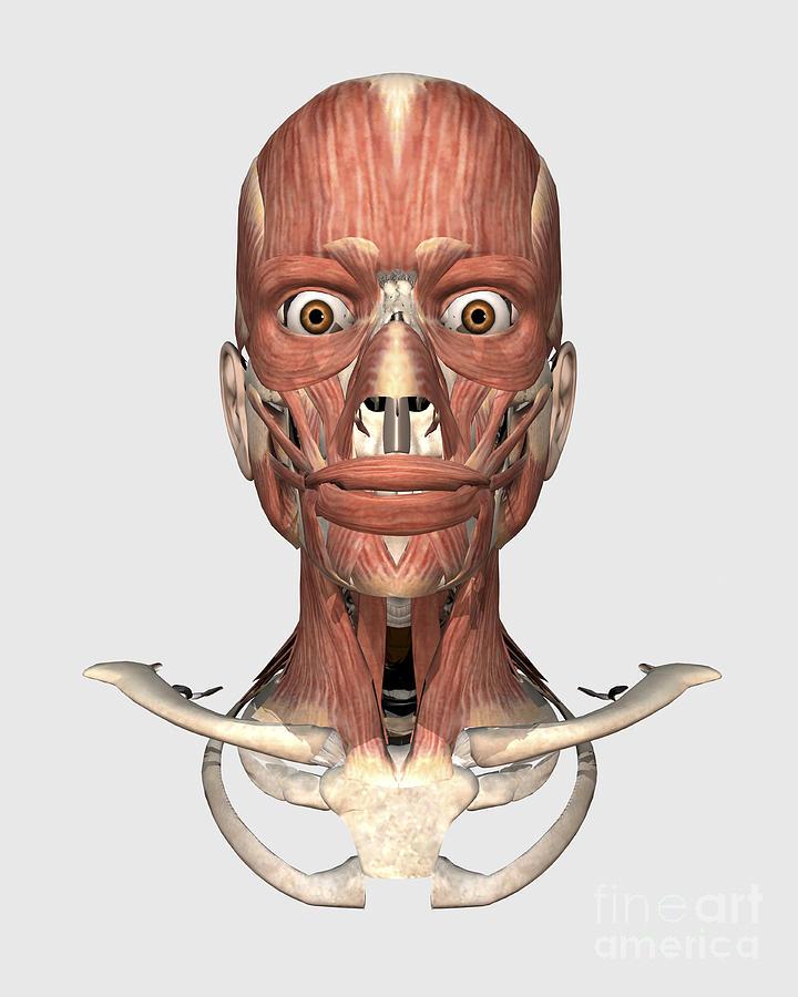 Human Head Showing Bone And Muscles Digital Art By Stocktrek