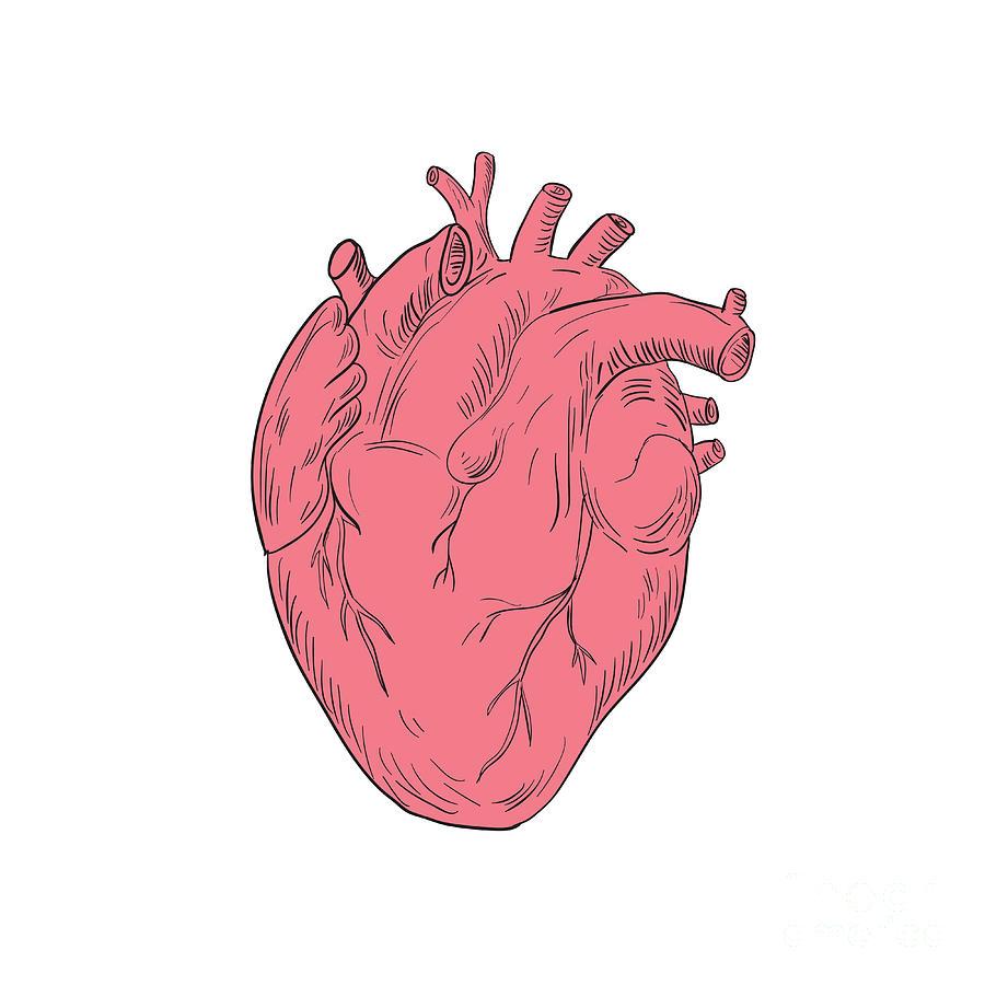 Human Heart Anatomy Drawing Digital Art by Aloysius Patrimonio