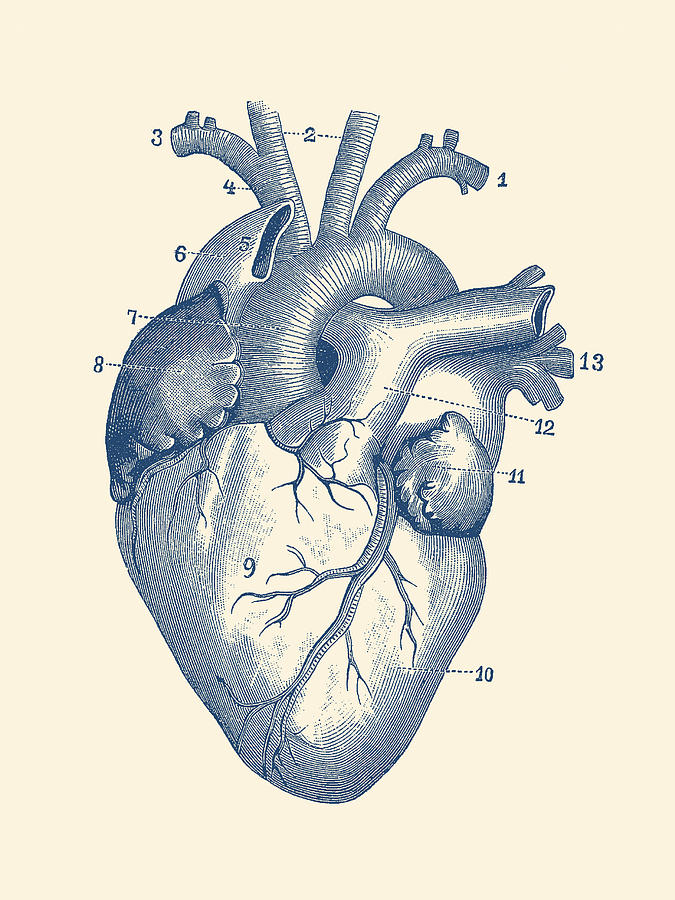 Human Heart Diagram Vintage Anatomy Drawing By Vintage Anatomy Prints