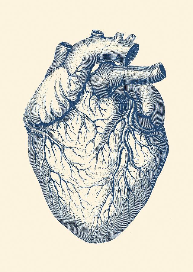 Human Heart - Vintage Medical Drawing by Vintage Anatomy Prints