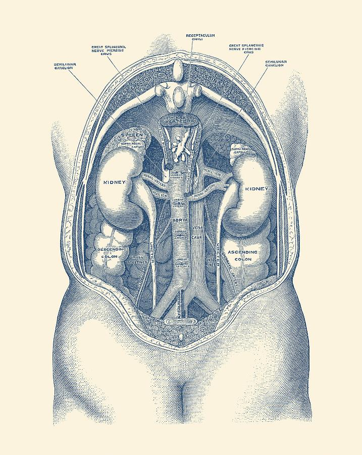 Human Kidney System Vintage Anatomy Drawing By Vintage