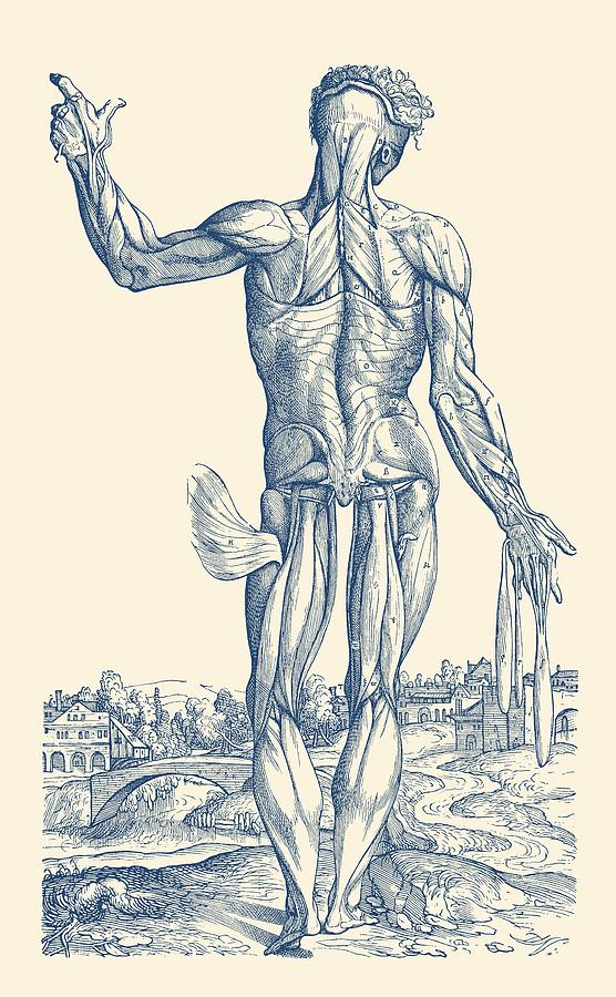 Human Muscular System Artistic View Vintage Anatomy Poster
