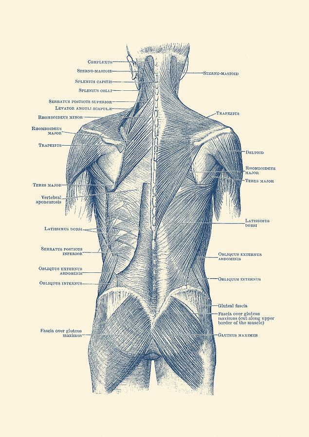 Human Muscular System - Back And Glutes Drawing by Vintage Anatomy ...