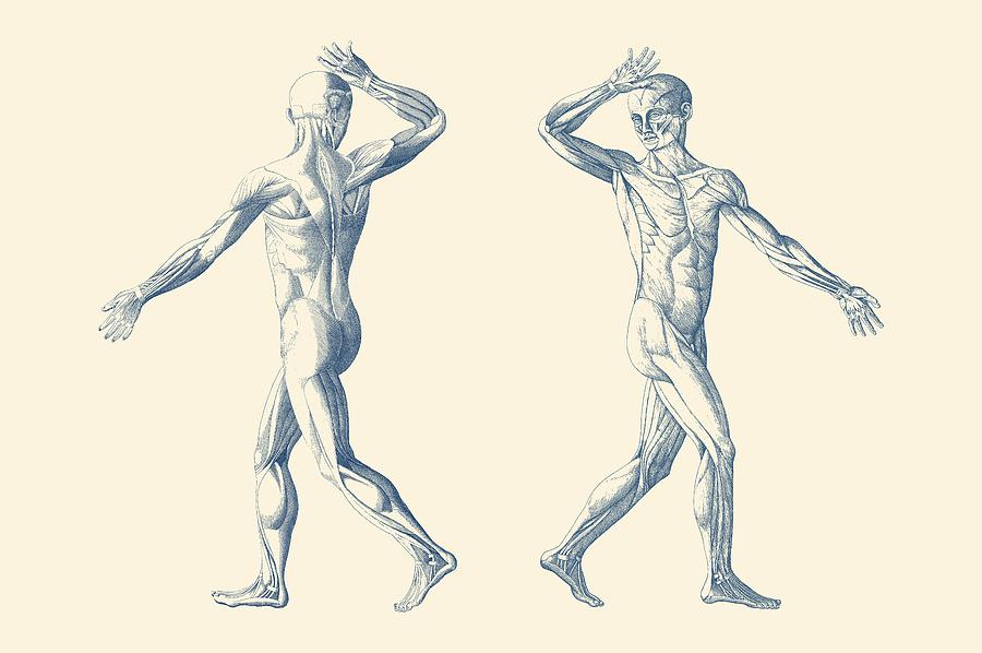 Human Muscular System Dual View Vintage Anatomy Poster