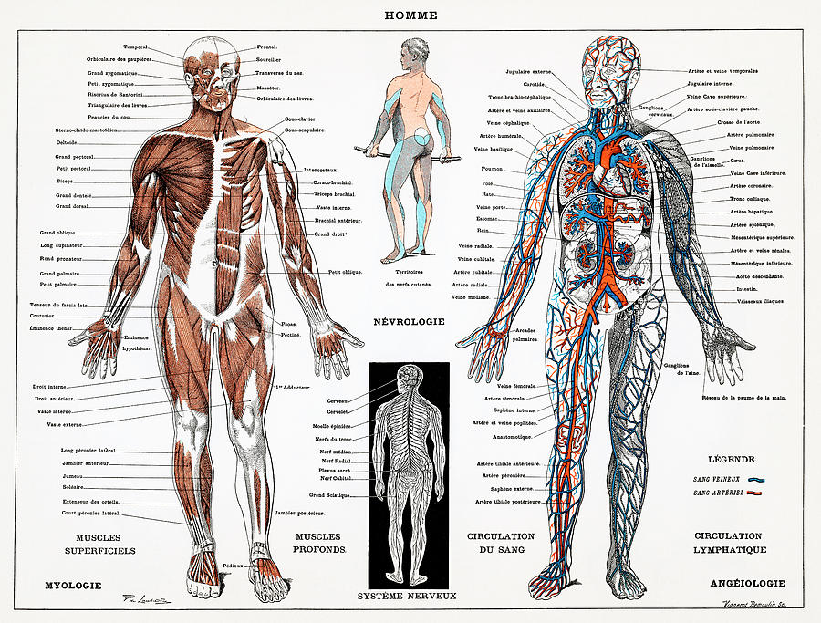 Human Nervous And Muscular System Drawing By Unknown